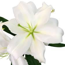 10 White Oriental Lily