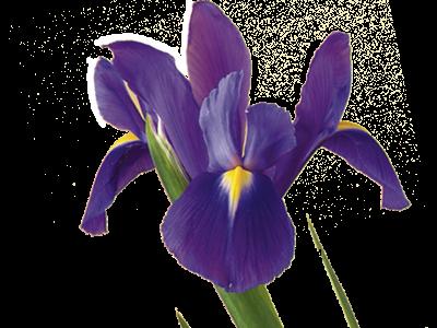 15 Iris