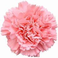 15 Pastel Carnations